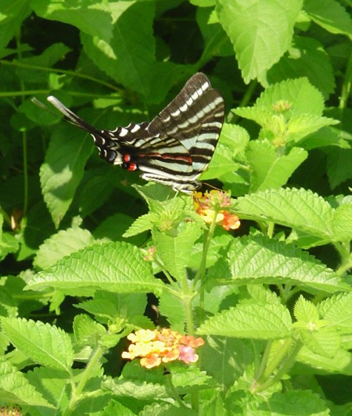 Zebra Swallowtail butterfly on Lantana