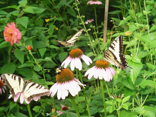 Tiger Swallowtails on Echinacea.