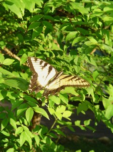 A male Eastern Tiger Swallowtail rests on a Crepe Myrtle tree.