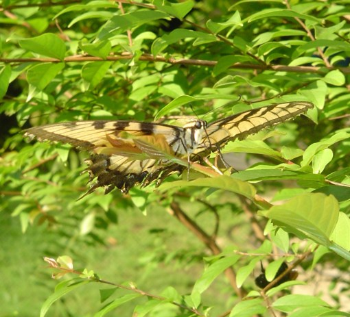 Male Tiger Swallowtail resting in a Crepe Myrtle tree.
