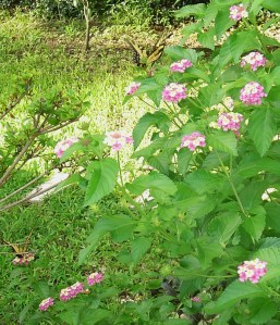 Lantana is a butterfly magnet, whether growing in a pot on the deck or out in the garden.
