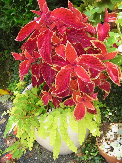 Coleus and Creeping Jenny