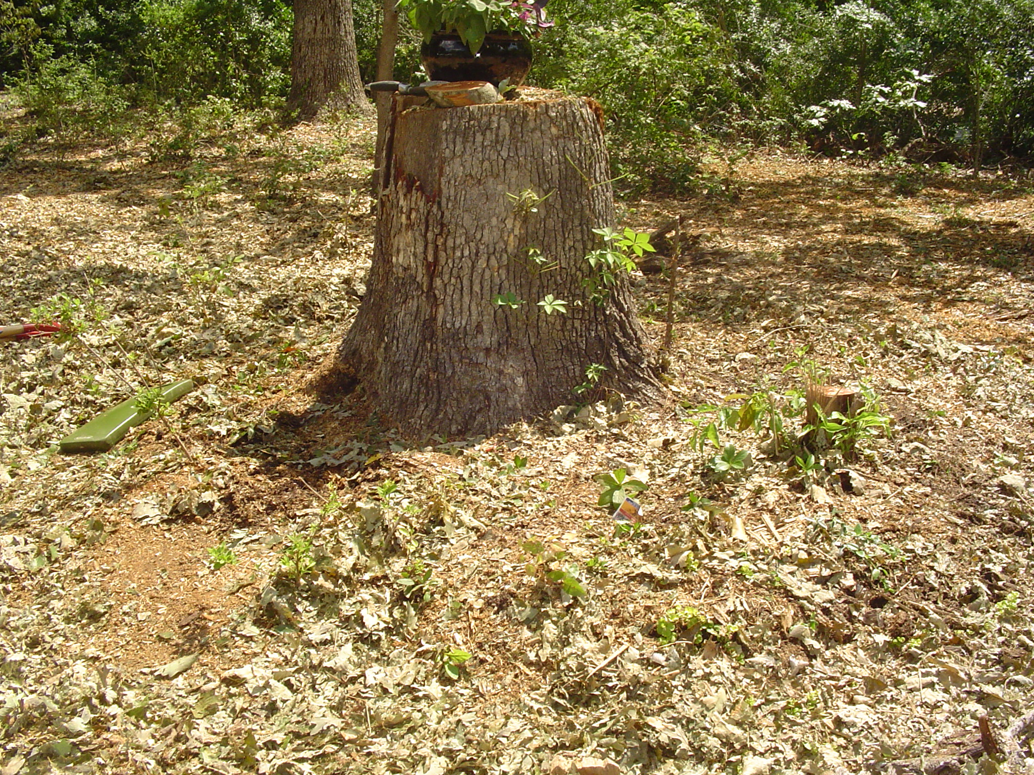Time to begin again to build a productive raised bed around the stump of this beautiful oak.