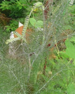 July 28 2013 caterpillars 001