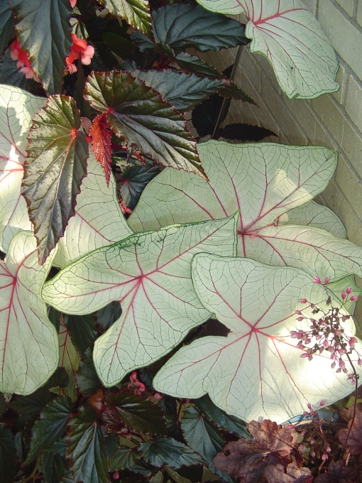 Caladium and Begonia