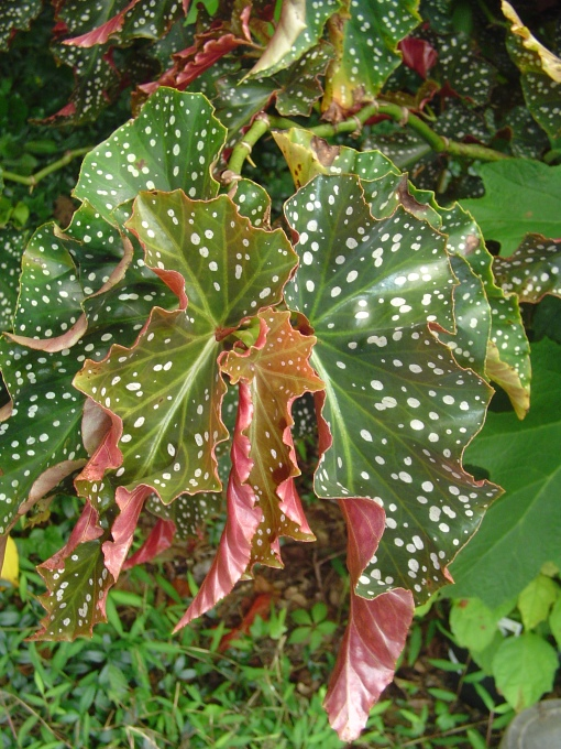 Angelwing Begonia leaves, larger than my hand.