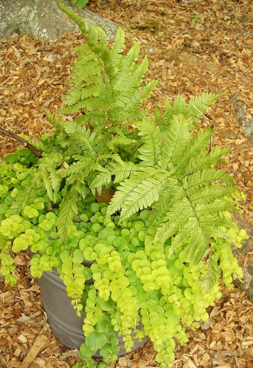 Fern with Creeping Jenny.  Both plants are winter hardy.
