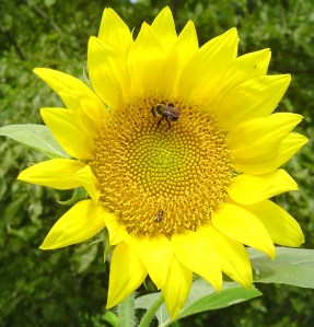 A volunteer sunflower, growing happily in a pot from, feeds a happy bee.