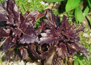 Purple ruffles basil is one of he most beautiful.