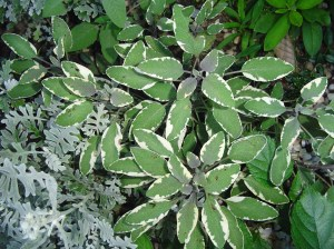 Tri-colored sage is a tender perennial which usually survives the winter in Zone 7b