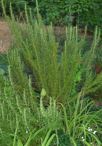 Rosemary can be harvested year round.  It is evergreen, and has small blue flowers in late winter.