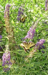 Eastern Tiger Swallowtail on Buddleia, Butterfly bush.