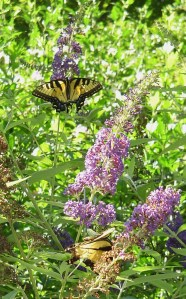 A Tiger Swallowtail butterfly feeding on Buddleia in the butterfly garden.