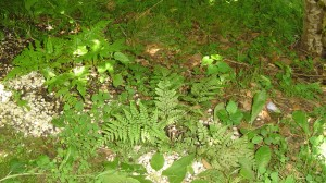 These ferns grew in pots last summer, but died back over the winter.  They were planted along the edge of a bank in depressions to help hold the bank against erosion.
