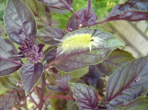 A banded Tussock moth caterpillar is exploring the basil.  He prefers the leaves of trees, and will leave the basil intact.