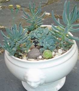 These succulents live in a pot with no drainage.  There are two inches of gravel in the bottom of the pot, and it is watered sparingly.