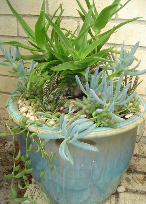 July 7 2013 succulents 012