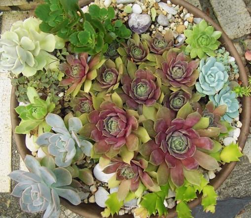 July 7 2013 succulents 014