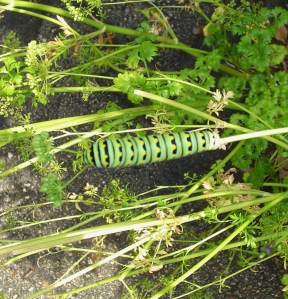 A beautiful caterpillar has been munching the parsley.  He will soon join the butterflies living in the garden.