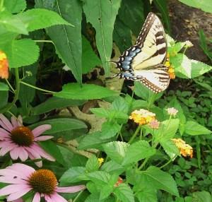 A Tiger Swallowtail butterfly on Lantana.