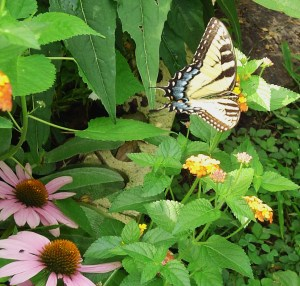 A Tiger Swallowtail butterfly on Lantana.