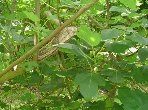 A fig tree, crushed by an oak and nearly destroyed in Hurricane Irene has recovered and is bearing figs again.