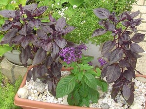 Basil with heliotrope