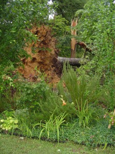 Three massive oaks went down in a storm this June.