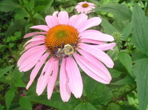 Purple coneflower hosting a bee
