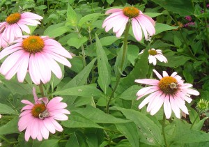 Bumble bees enjoy the purple coneflowers.  Pineapple sage in the background will bloom by early autumn to continue the feast.