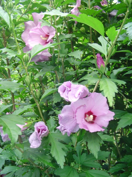 HIbiscus syriacus, or Rose of Sharon