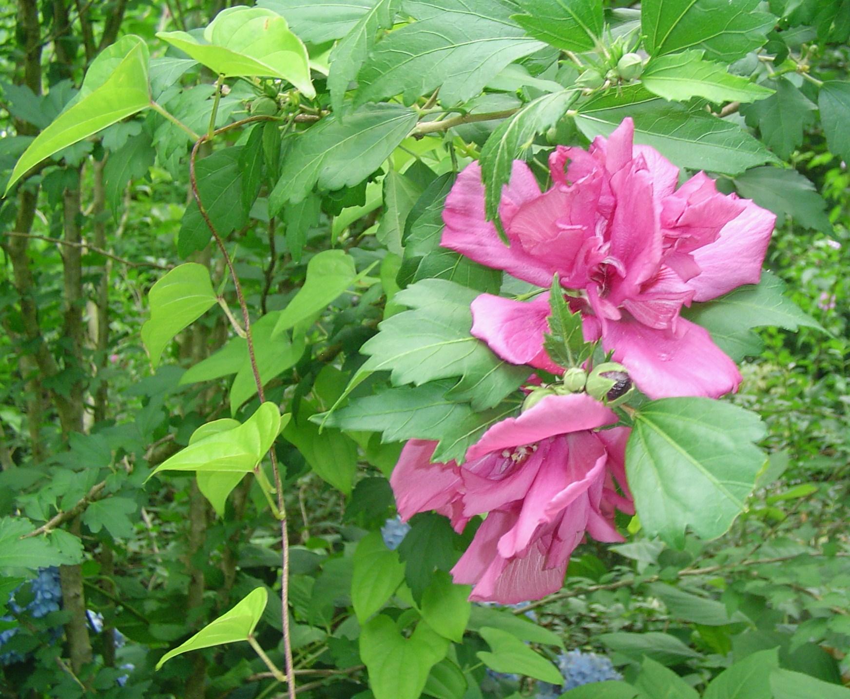Hardy Hibiscus Forest Garden