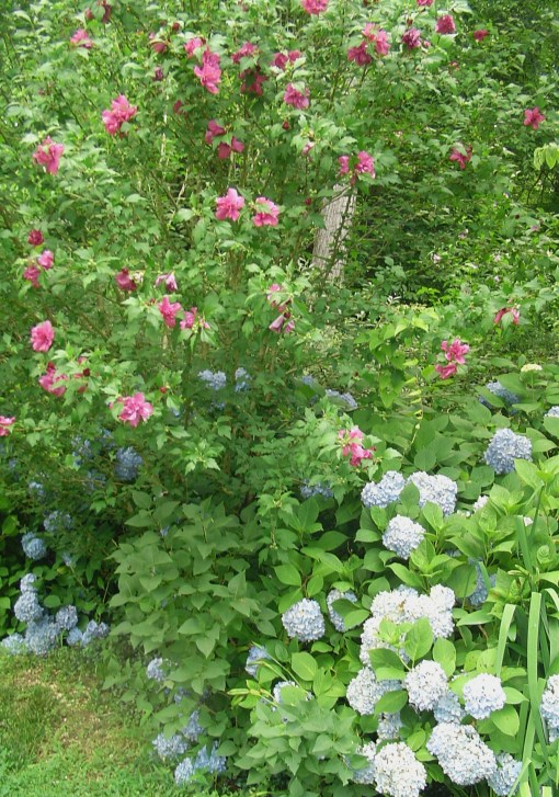 Rose of Sharon in a mixed shrub border with Hydrangea and Lilac.