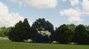 Clematis covered red cedar trees line the fence of the Gospel Spreading Church Farm along the Colonial Parkway.