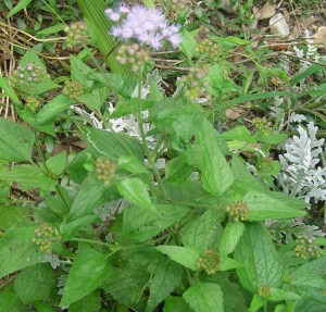 "This perennial ""weed"" is related to Ageratum, and blooms in beautiful periwinkle blue late into Autumn."