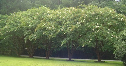 White Crepe Myrtles front the Kingspoint Clubhouse property.