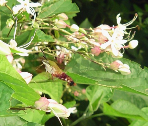 Aug. 3 2013 hummingbird moth 031