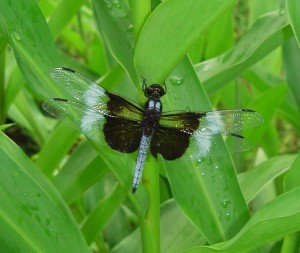 Aug 6 2013 dragonfly 002