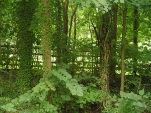 Ivy scrambling up trees along a pasture at Colonial Williamsburg.