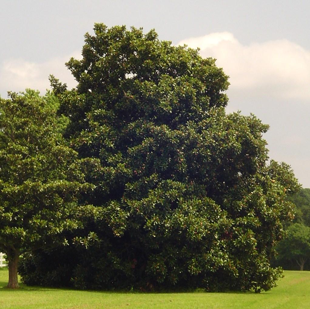 Magnolia grandiflora growing along the Colonial Parkway near Jametown, VA.
