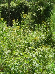 Goldenrod beside the road on Jamestown Island.
