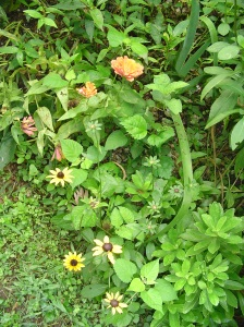 Rudbeckia, Black Eyed Susans, finally open.  Here they are planted with Zinnia, coneflower, and daisy in my garden.