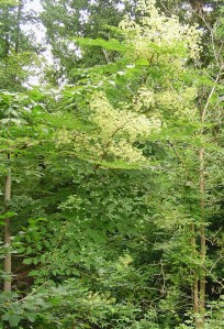"""""""The Devil's Walking Stick"""", Aralia spinosa, earns its name because its trunk and branches are covered in large sharp thorns."""
