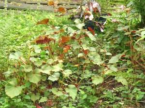 August 28 2013 garden 015
