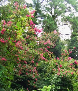 Grape vines and Virginia Creeper scramble through Crepe Myrtle trees a James City County front garden.