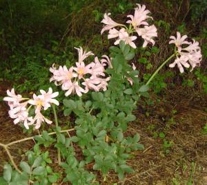 Lycoris, Spider Lilies