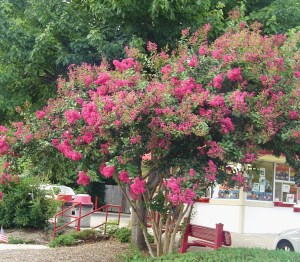 Crepe Myrtle in front of Brusters Ice Cream shop in Williamsburg.