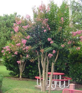 Crepe Myrtles shade the picnic tables at Bruster's Ice Cream shop.