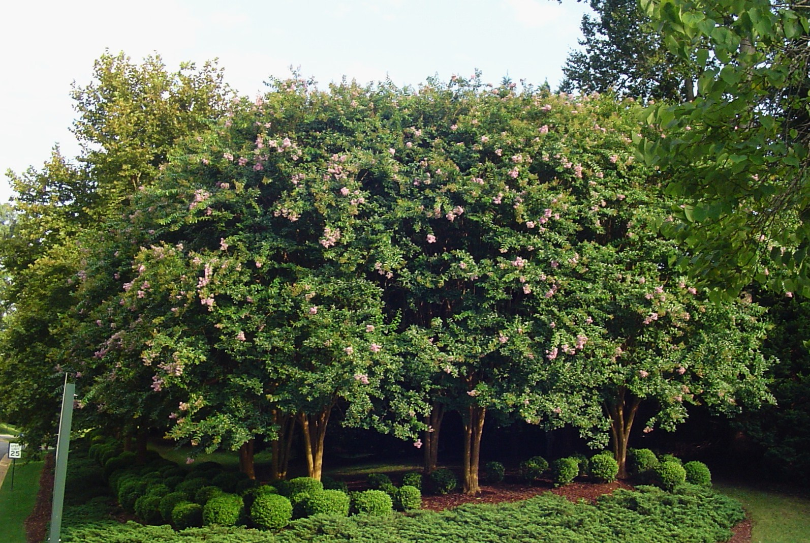 crepe myrtle trees line the entrance to the holly hills in