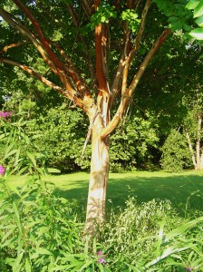 Crepe Myrtle bark peels in summer while the tree is growing.